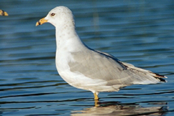Ring-billed Gull (c) Jack Bartholmai