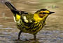 cape may warbler in Lake Park