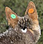 coyote with colored ear tag